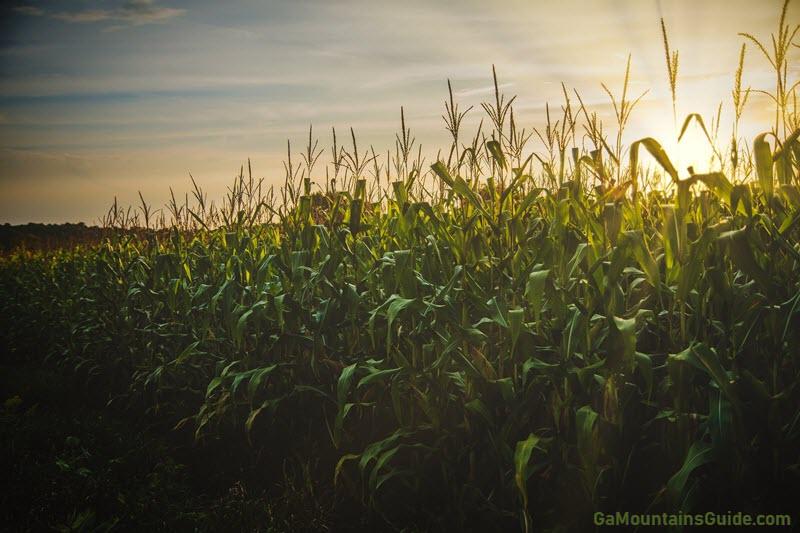 corn-field-sunset