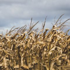 Corn Mazes in North Georgia Mountains